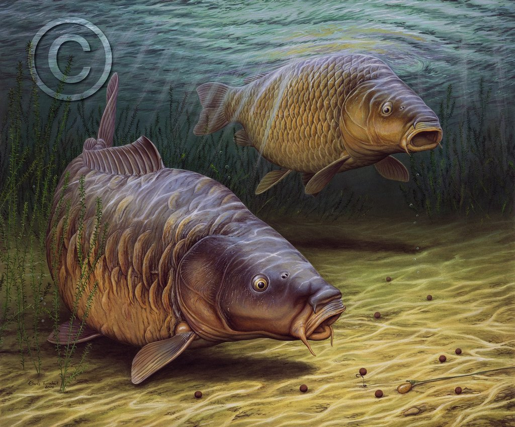 Bass - Carp fishing wallpaper hd ...